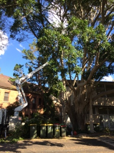 Hill's fig Laman Street. Tree maintenance...